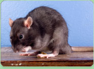 rat control Hampstead Garden Suburb